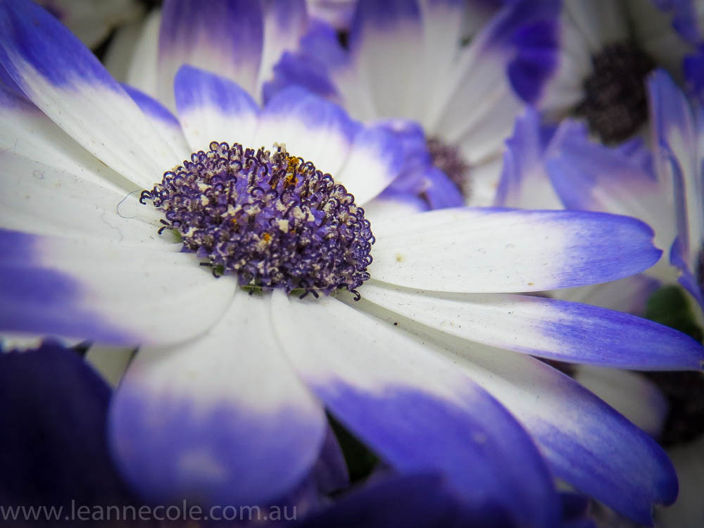 melbourne-fitzroy-gardens-conservatory-flowers-10