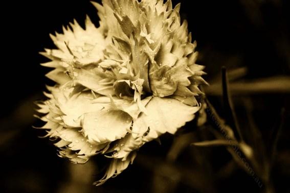 macro-carnation-garden-monochromeZ