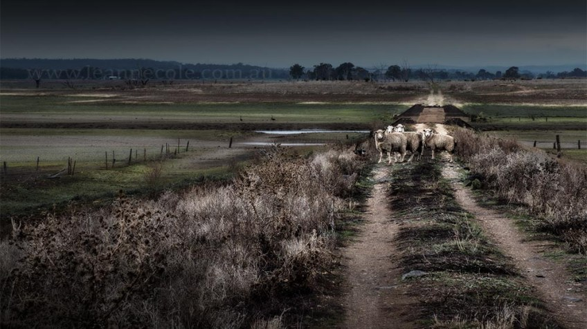 newstead-track-sheep-victoria-colour