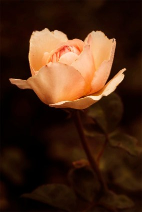 peach-coral-salmon-colored-rose-blossom