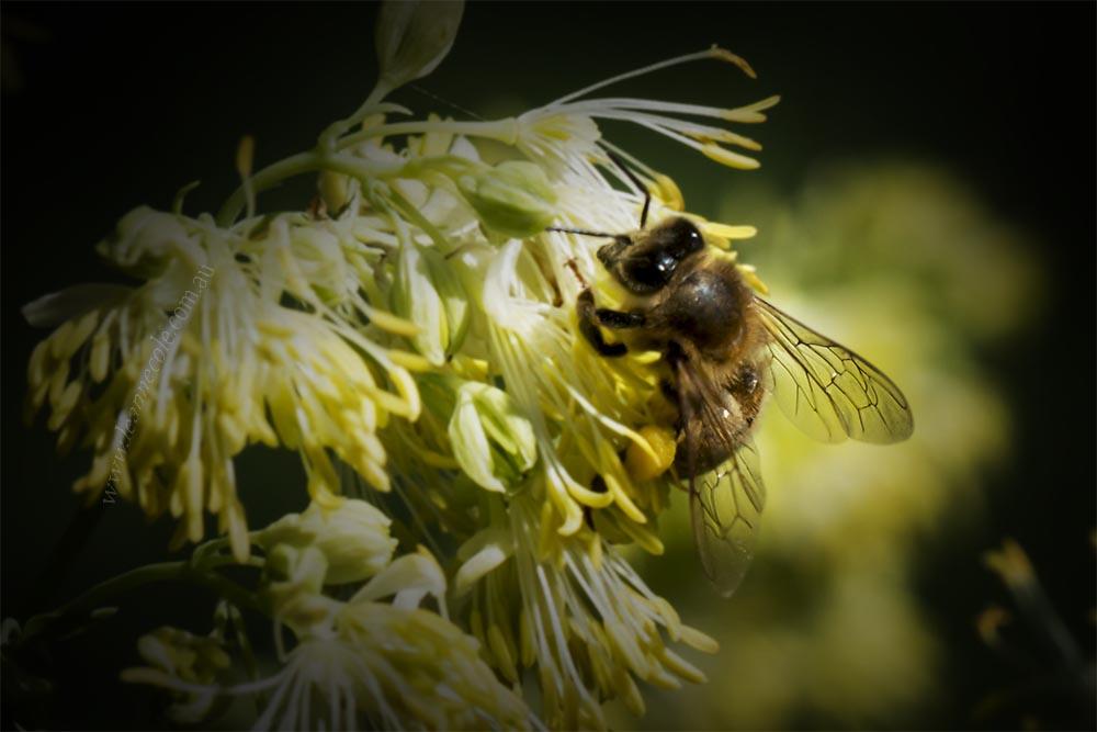 bee-flower-macro-pollen-heide