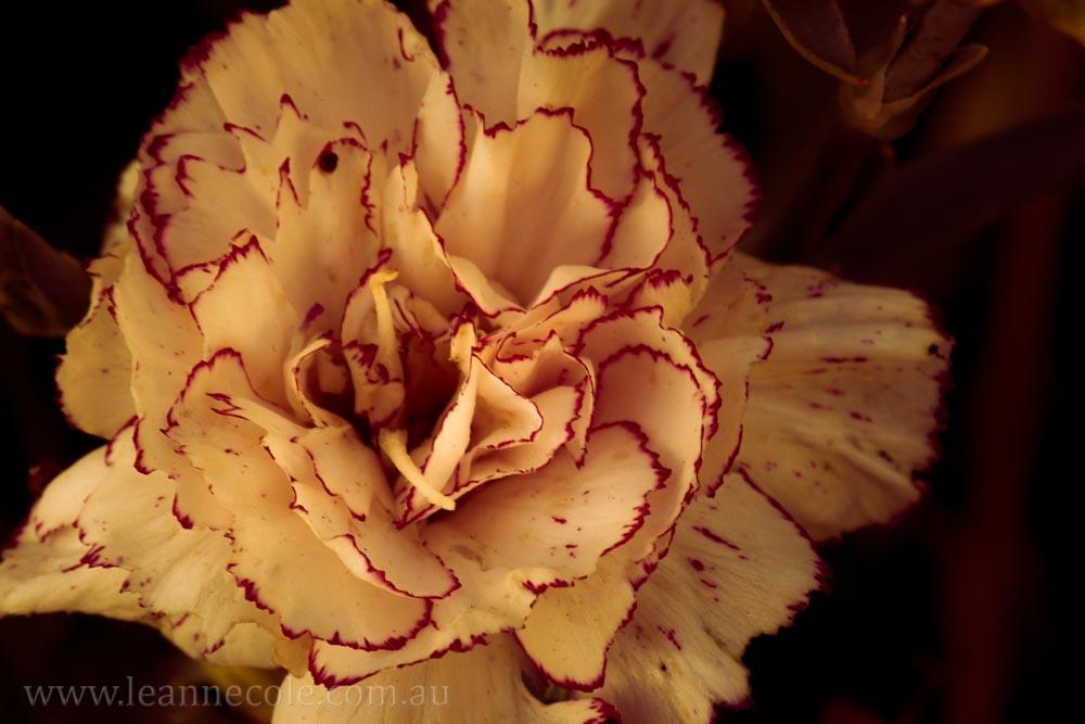 carnation-macro-garden-art-