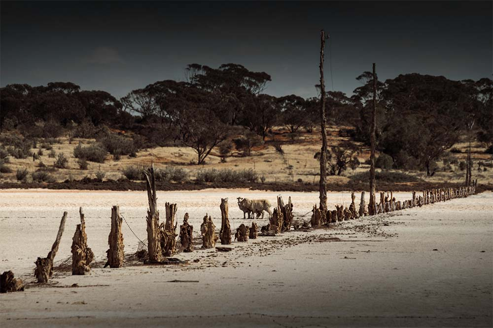 saltpans-sheep-fence-posts-sealake