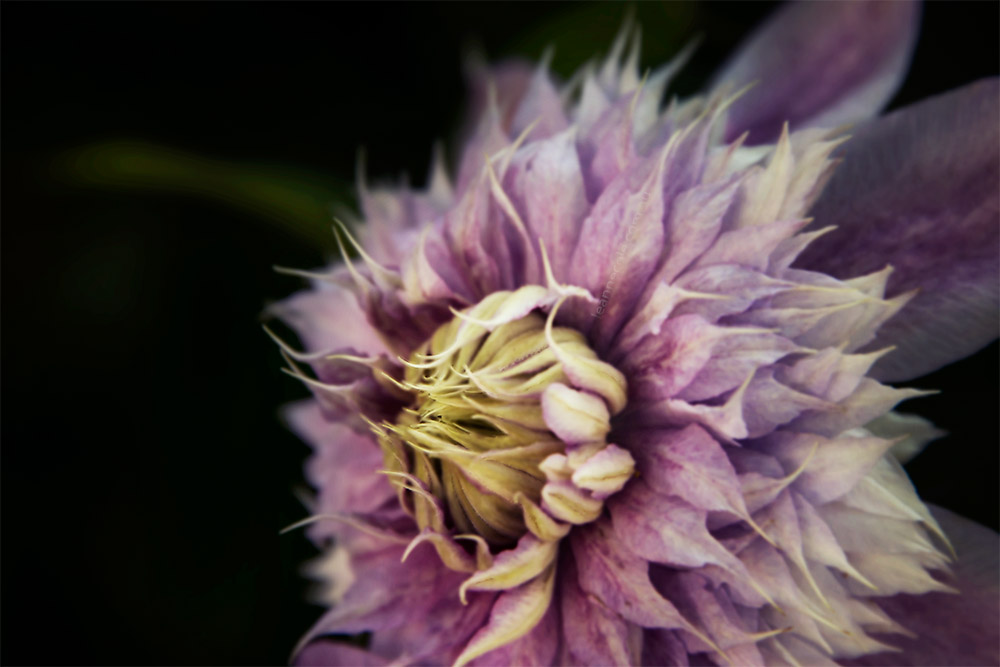 flower-mifgs-macro-melbourne-purple