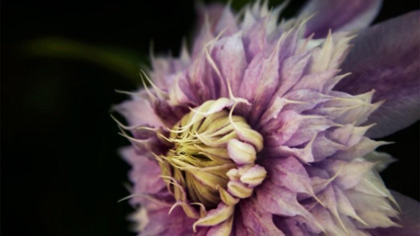 flower-mifgs-macro-melbourne-purple