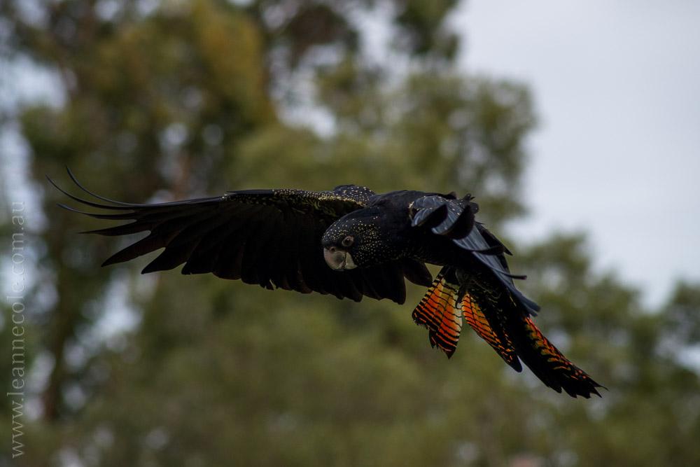 healesville-sanctuary-spirits-of-the-sky-0767