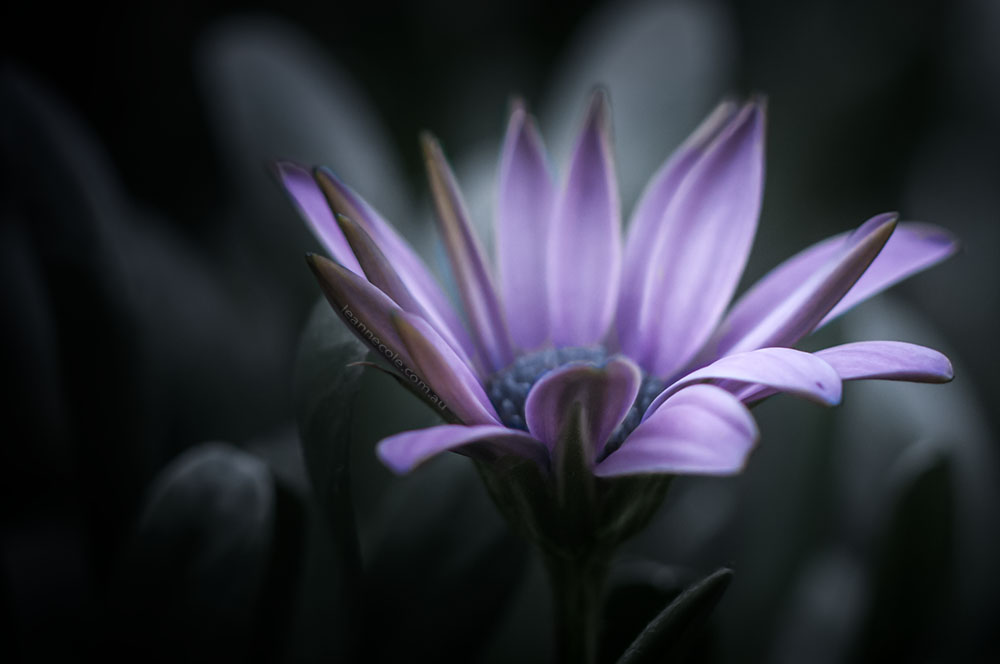 purple-flower-lensbaby-macro-colour