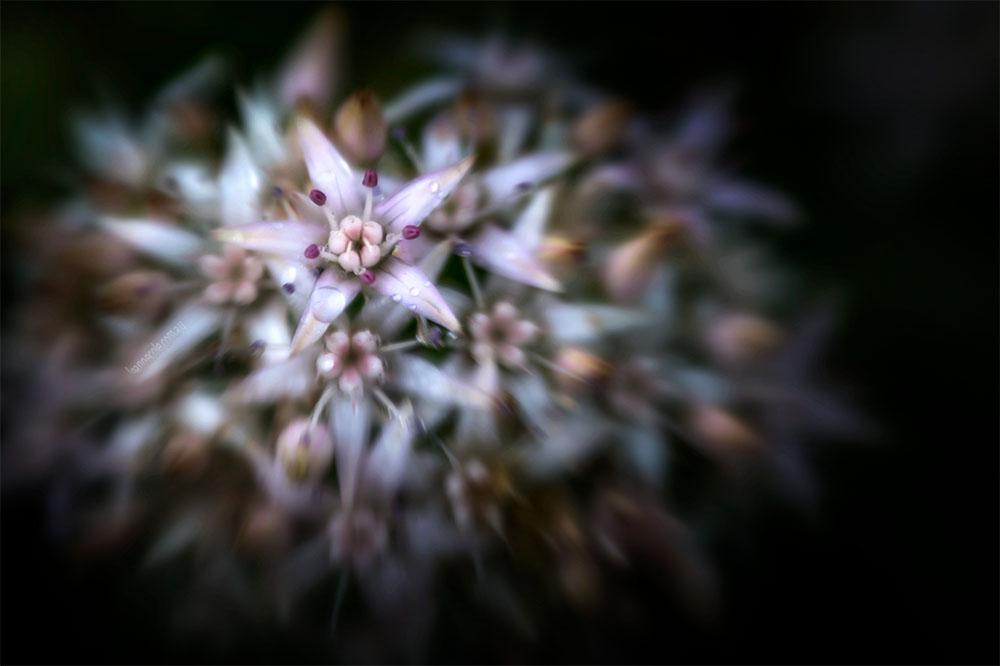 01-lensbaby-macro-flower-mallee