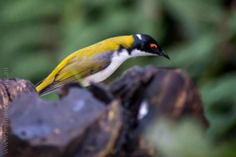 healesville-sanctuary-birds-australian-0254
