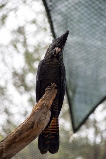 healesville-sanctuary-birds-australian-0794