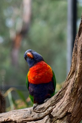 healesville-sanctuary-birds-australian-0803