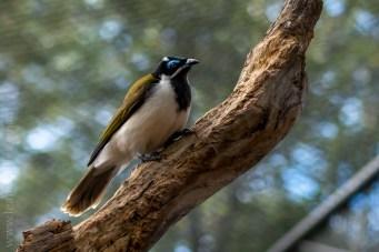 healesville-sanctuary-birds-australian-0818