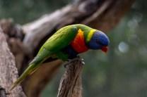 healesville-sanctuary-birds-australian-0881