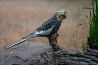 healesville-sanctuary-birds-australian-1058