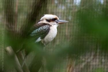 healesville-sanctuary-birds-australian-1329