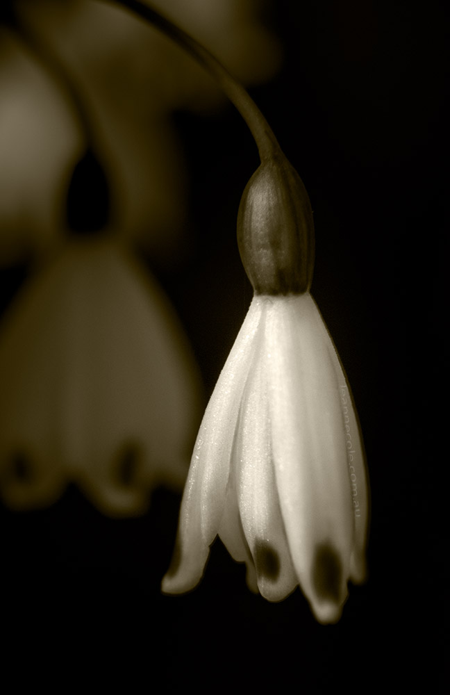 snowdrop-bulb-winter-flower-macro