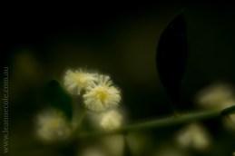 flora-healesville-sanctuary-lensbaby-velvet56-4585