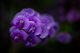 flower-lensbaby-velvet56-healesville-sanctuary