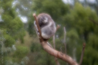 healesville-sanctuary-animals-lensbaby-velvet56-4638