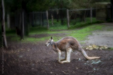healesville-sanctuary-animals-lensbaby-velvet56-4728