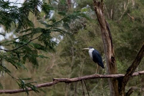 healesville-sanctuary-animals-lensbaby-velvet56-4936