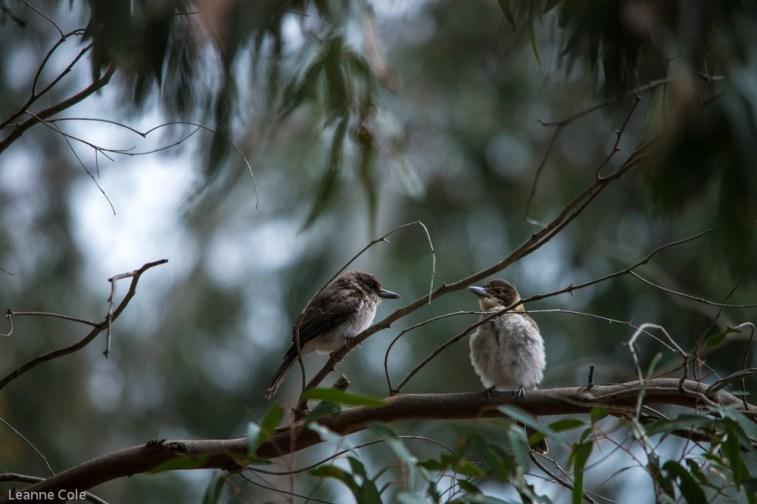 melbourne-banyule-flats-birds-111
