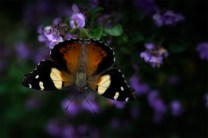 butterfly-alowyn-gardens-leansbaby-velvet56