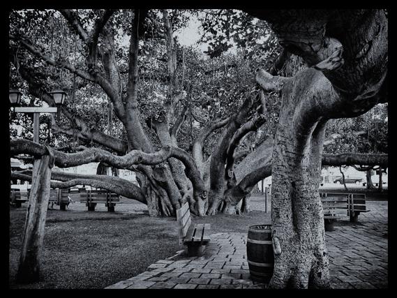 crow-canyon-journal-mm-3-27-banyan-tree-maui-hawaii