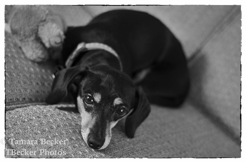 madison-dainty-dachshund