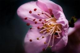 peach-blossom-macro-lens-ext