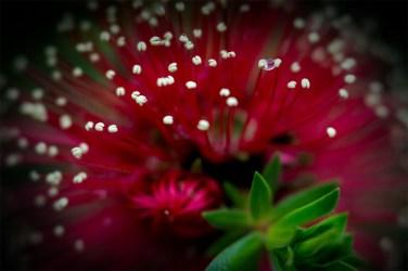 bottlebrush-healesville-sanctuary-lensbaby-velvet56