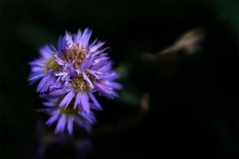 composerpro-lensbaby-flower-alowyn-gardens