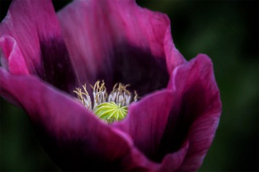 poppy-flower-alowyn-gardens-lensbaby-velvet56