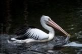 healesville-sanctuary-animals-birds-australia-4969