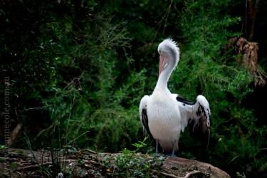 healesville-sanctuary-animals-birds-australia-4998
