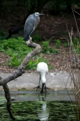 healesville-sanctuary-animals-birds-australia-5054