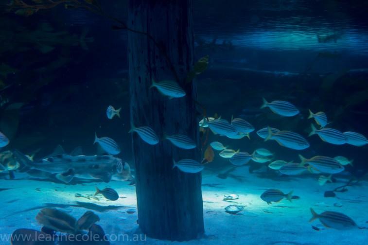 melbourne-aquarium-fish-turtles-penguins-100