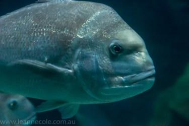 melbourne-aquarium-fish-turtles-penguins-107