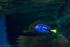 melbourne-aquarium-fish-turtles-penguins-110
