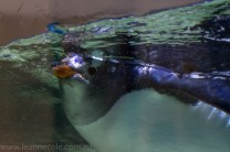 melbourne-aquarium-fish-turtles-penguins-135
