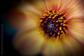 flowers-macro-mifgs-lensbaby-velvet56-0008