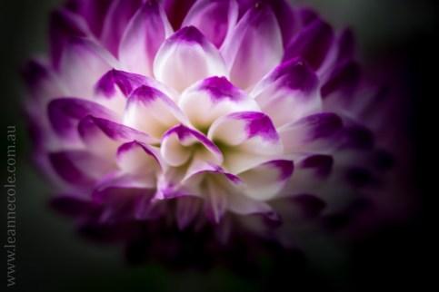 flowers-macro-mifgs-lensbaby-velvet56-9856