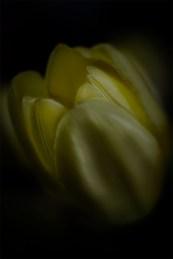 tulip-melbourne-gardenshow-lensbaby-velvet56