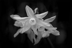 daffodil-flowers-alowyngardens-monochrome