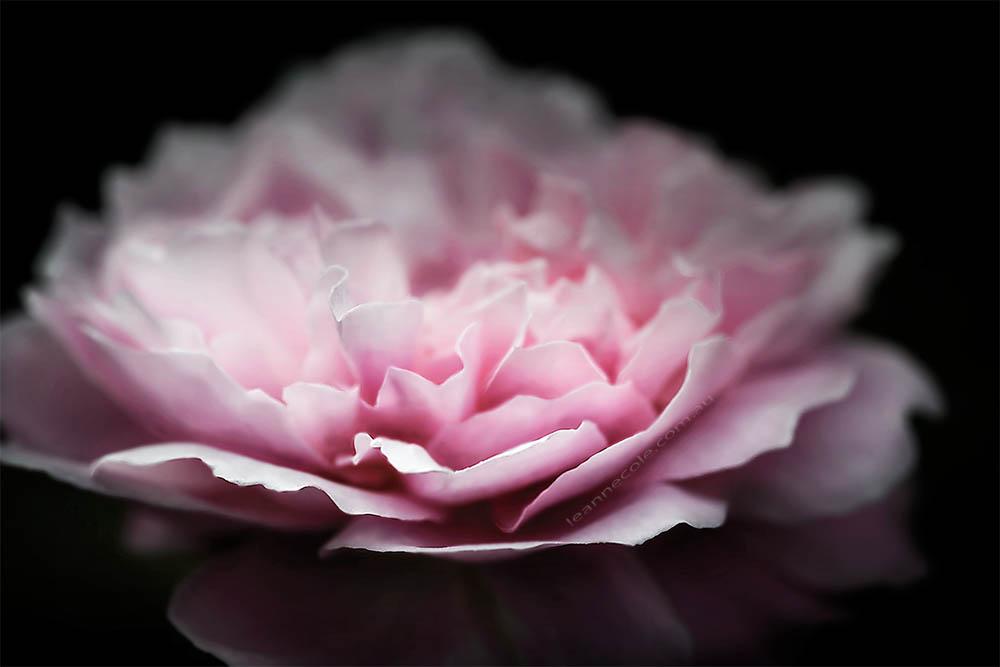 rose-alowyn-gardens-samyang-macro