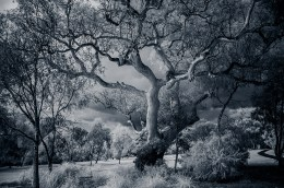 old-tree-infrared-binnak-park