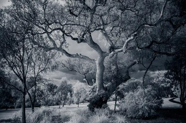 old-tree-infrared-binnak-park