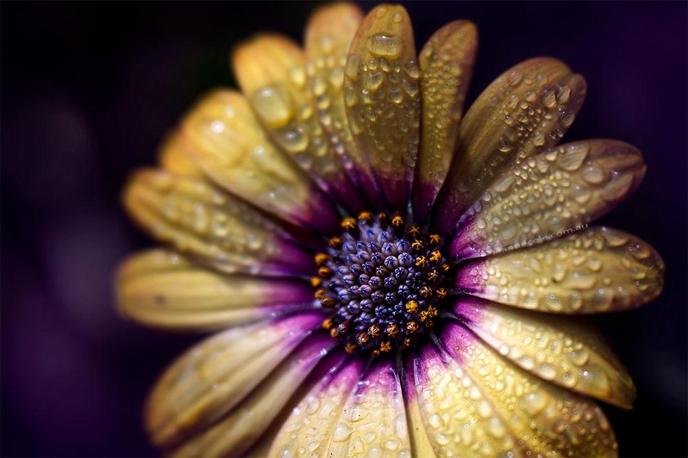 alowyn-gardens-lensbaby-velvet56-flower
