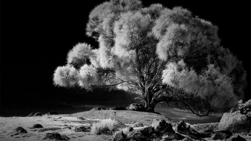 bayoffires-tree-infrared-tasmania-monochrome
