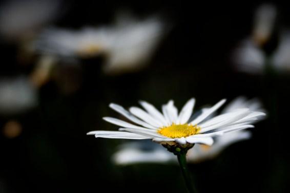 daisy-lensbaby-velvet85-garden-macro